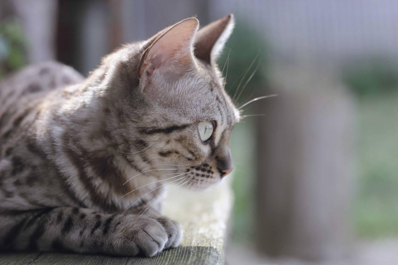 Leopard Katze